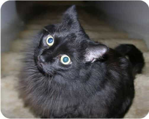 image of Bilbo- black cat with blue eyes